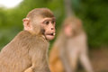 Free Young Monkey Stock Image - 25813591