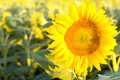 Free Sunflowers Stock Photo - 25819160