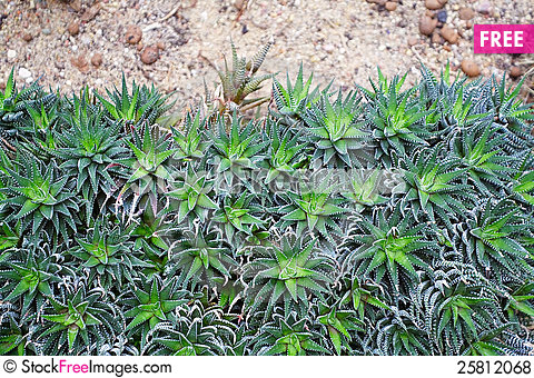Free Succulent Royalty Free Stock Photos - 25812068