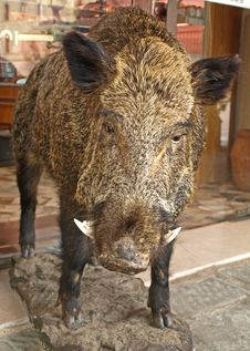 Free Wild Boar Royalty Free Stock Images - 25811339