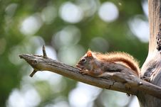 Free Squirrel Stock Photography - 25815542