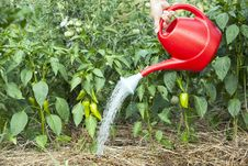 Free Watering Green Peppers Stock Photos - 25819283