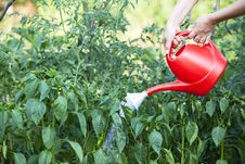 Free Watering Green Peppers Royalty Free Stock Photo - 25819445
