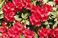Free Bright Red Rhododendron Stock Photography - 25823432