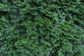 Free Thuja Green As Background Royalty Free Stock Images - 25825049