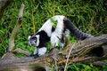 Free Black And White Ruffed Lemur Stock Photography - 25838542