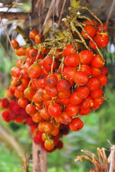 Free Ripe Fruit Called Pejibaye Stock Images - 25834254