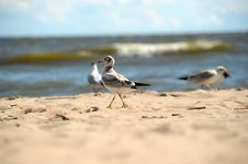Free Seagulls On The Sand Stock Image - 25836831