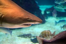 Free Sand Tiger Shark Above Peaceful Fishes Royalty Free Stock Photos - 25837098