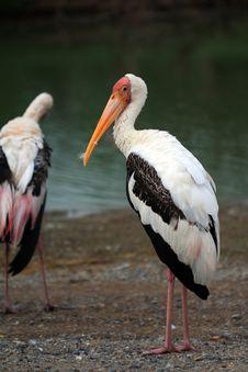 Great White Pelican &x28;Pelecanus Onocrotalus&x29; Stock Images