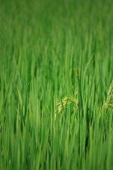 Free Rice Farm [Paddy] Royalty Free Stock Photos - 25838358
