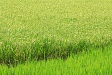 Free Rice Farm [Paddy] Royalty Free Stock Images - 25838419