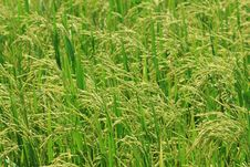 Free Rice Farm [Paddy] Stock Images - 25838454