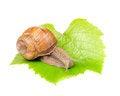 Free Roman &x28;Edible&x29; Snail On Grape Leaf Stock Photos - 25841763