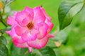 Free Beautiful Pink Rose Royalty Free Stock Images - 25841869