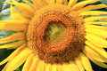 Free Beautiful Sunflower Closeup Royalty Free Stock Images - 25845669