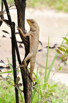 Free Brown Lizard. Stock Photos - 25841023