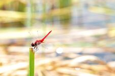 Free Red Dragonfly Stock Images - 25841074