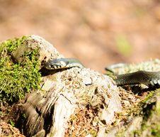 Free Water Snake &x28;Natrix&x29; Crawling On Wood Log Royalty Free Stock Photography - 25841707