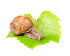 Roman &x28;Edible&x29; Snail On Grape Leaf Stock Photos