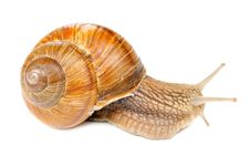 Roman &x28;Edible&x29; Snail Stock Photo