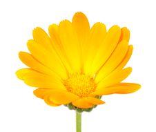 Free Calendula &x28;Pot Marigold&x29; Flower Royalty Free Stock Photo - 25841945