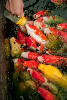 Free Feeding Fish With Nursing Bottle Royalty Free Stock Image - 25844726