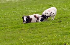 Free Goats In A Field Stock Photos - 25844883