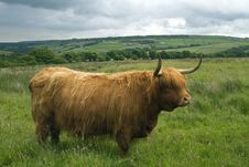 Free Highland Cattle In A Field Stock Image - 25844981