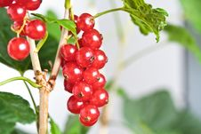 Free Cluster Of A Red Currant On A Branch Royalty Free Stock Images - 25848699