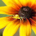 Free Spider On Flower Stock Photo - 25855040