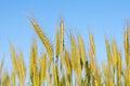 Free Rye Ears Against Blue Sky Stock Photos - 25856533