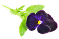 Free Purple Pansy Violet Flower Stock Photo - 25856550