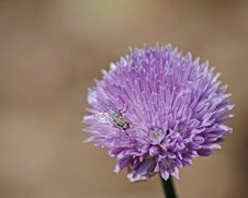 Fly On Purple Flower Royalty Free Stock Photography