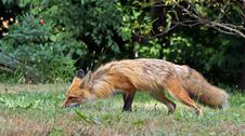 Free Red Fox Smells The Ground Stock Photography - 25855932