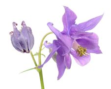 Beautiful Purple Aquilegia &x28;Columbine&x29; Flower Stock Photography