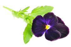 Free Purple Pansy Violet Flower Stock Photo - 25856550