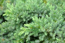 Free Evergreen Juniper Shrub Stock Images - 25856574