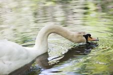 Free Big Mute Swan Searching For Food In Water Royalty Free Stock Images - 25857159