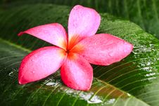 Free Flower On Leaf Royalty Free Stock Photography - 25863367