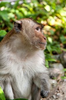Free Hairy Monkey Royalty Free Stock Photos - 25866398