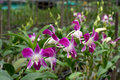 Free Beautiful Purple Orchid Royalty Free Stock Photos - 25876518