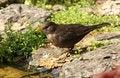 Free Blackbird Royalty Free Stock Photography - 25879307