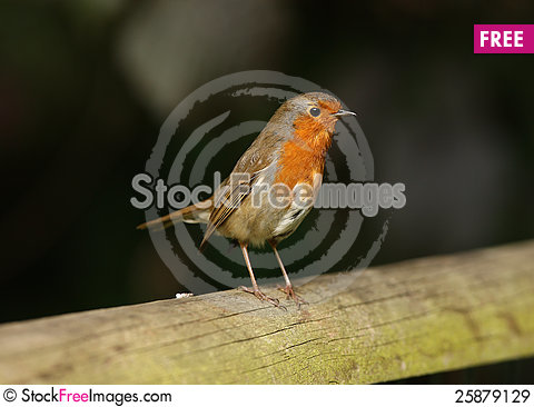 Free Robin Royalty Free Stock Images - 25879129