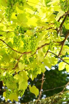 Free Wild Green Grapes Stock Images - 25875124