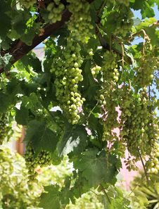 Free Fresh Green Grapevine Growing Stock Image - 25876521
