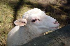 Free Lamb Royalty Free Stock Photography - 25878087