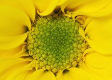 Free Yellow Chrysanthemum Flower Close Up Shot Stock Images - 25878864