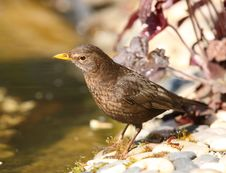 Free Blackbird Royalty Free Stock Photo - 25879095
