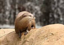 Oriental Short-Clawed Otter Stock Image